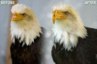 Actual eagle whose damaged beak was repaired using 3D printing