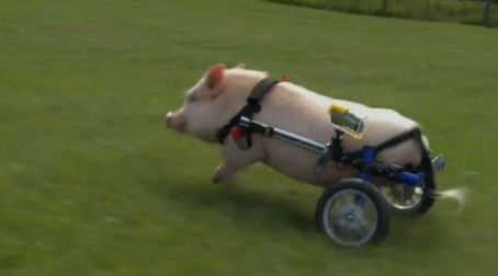 bionic pig